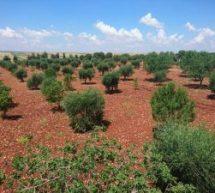 Piano commerciale dello stato Turco per la svendita di olive di Efrîn verso la Spagna